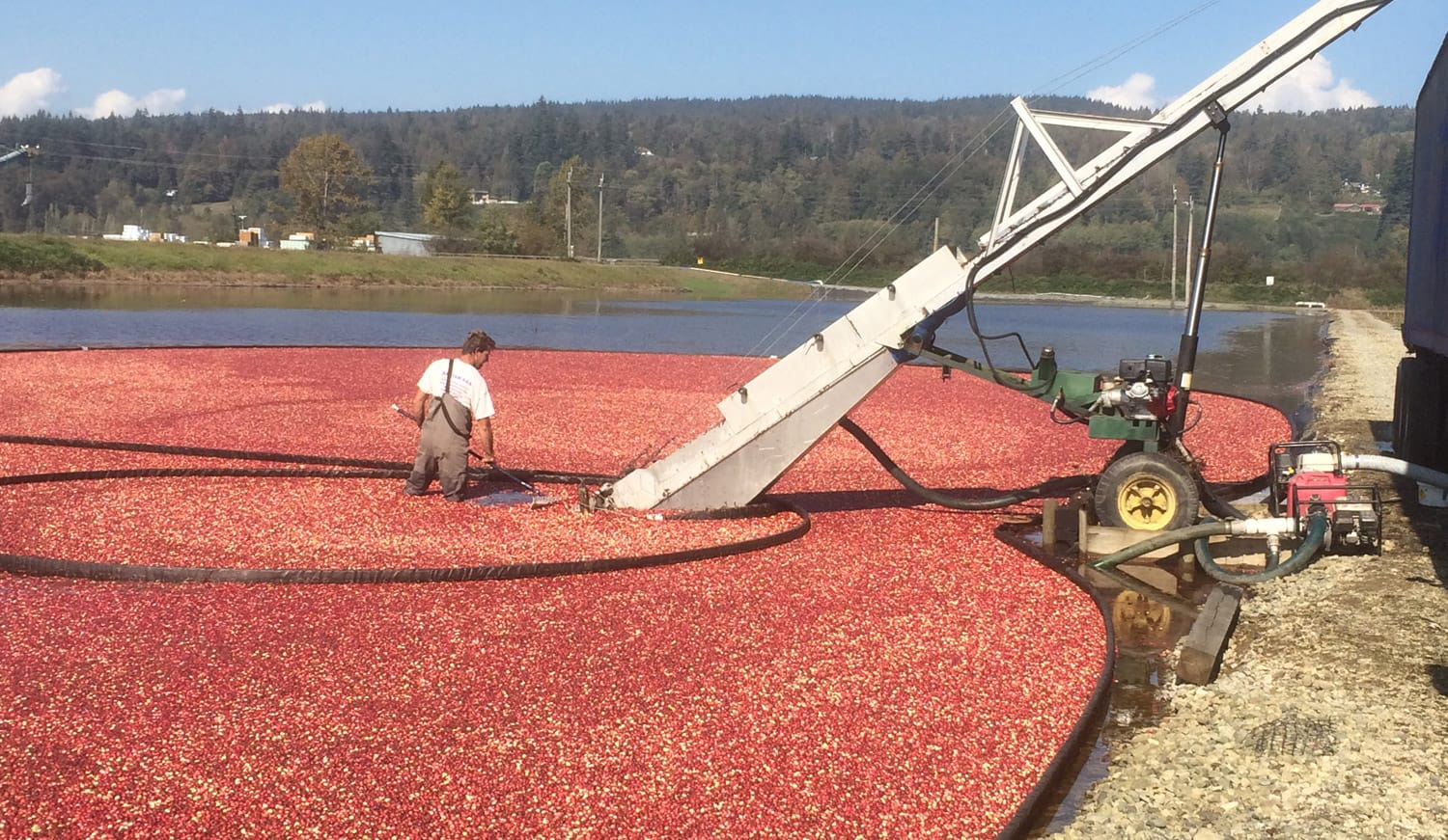 growing cranberries in BC