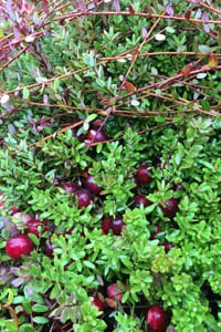 How Cranberries Grow Bc Cranberry Marketing Commission