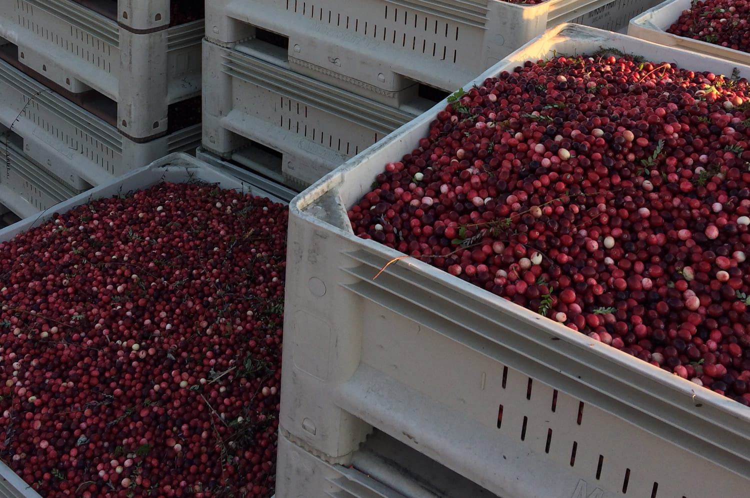 BC Cranberry growers